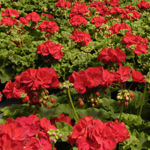 Add color to your landscape all season long with annuals